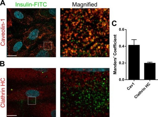 Insulin colocalizes with caveolin-1 in HAECs. (A) Insulin-FITC (green) colocalizes with caveolin-1 (red) in HAECs. Dashed box indicates area enlarged on the right; white scale, 15 μm. (B) Insulin-FITC (green) colocalizes with clathrin heavy chain (red) to a much lesser extent than caveolin-1 in HAECs. Dashed box indicates area enlarged on the right; white scale, 15 μm. (C) Quantification of colocalization of insulin-FITC with caveolin-1 (0.411 ± 0.068) or clathrin heavy chain (0.196 ± 0.013) via the Manders coefficient.