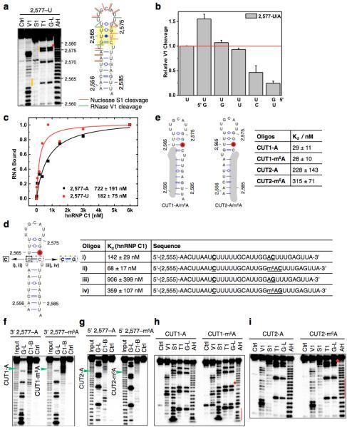 "Increased accessibility of U-tracts enhances hnRNP C bindinga, Structure probing of the 2,577A-to-U mutated MALAT1 hairpin (2,577-U), same annotation as in Fig. 1d. b, Quantification of the RNase V1 cleavage signal for the U-tract region from RNA structural mapping assays as in a. To correct for sample loading difference, each band signal was normalized to the band signal of the 3' most U of the U-tract. n = 2, technical replicates. c, Filter-binding curves displaying the binding affinities between recombinant hnRNP C1 and 2,577-U/A oligos. n = 3, ± s.d., technical replicates. d, Filter-binding results showing the binding affinities between recombinant hnRNP C1 and four mutated MALAT1 oligos. (i) Mutate G-C to C-C, A2,577: predicted to weaken the hairpin stem and increase hnRNP C binding. Results: binding improved from 722 nM Kd to 142 nM (5-fold); (ii) Mutate G-C to C-C, m6A2,577: in this context of weaker stem, m6A is predicted to confer a smaller effect compared to wild-type hairpin. Result: improved binding only 2-fold instead of 8-fold; (iii) Restore C-C to C-G, A2,577: predicted to restore the hairpin stem and decrease hnRNP C binding compared to C-C mutant. Result: binding decreased by 6.4-fold; (iv) Restore C-C to C-G, m6A2,577: in this context of restored stem, m6A is again predicted to confer increased binding compared to A2,577 hairpin. Result: improved binding by 2.5-fold. n = 3 each, ± s.d., technical replicates. e, RNA alkaline hydrolysis terminal truncation assay showing recombinant hnRNP C1 binding to terminal truncated MALAT1 hairpin oligos (2,577 site m6A methylated or unmethylated). In this assay, 3′ radiolabeled MALAT1 2,577 hairpin oligos were terminal truncated by alkaline hydrolysis into RNA fragments which were then incubated with hnRNP C1 protein followed by filter binding wash steps. The remaining RNA on the filter paper was isolated and analyzed by denaturing gel electrophoresis, as indicated in the lane ""C1-bound or C1-B"". ""Input"" refers to alkaline hydrolysis truncated RNA oligos used for incubation with hnRNP C1; ""G-L or G-ladder"" was generated from RNase T1 digestion; ""Ctrl"" refers to the intact MALAT1 hairpin without alkaline hydrolysis truncation. One pair of methylated/unmethylated truncated oligos (CUT1, marked by green arrows) was selected for subsequent biochemical analysis, due to their strong interaction with hnRNP C1. f, RNA terminal truncation assay as in e except 5′ 32P-labeled oligos were used. One pair of methylated/unmethylated truncated oligos (CUT2, marked by green arrows) was selected for subsequent biochemical analysis. g, Structure probing of the CUT1 oligos using RNase V1 and nuclease S1 digestion, same annotation as in Fig. 1e. The red dot marks the m6A site and the red line marks the U-tract region. h, Structure probing of the CUT2 oligos using RNase V1 and nuclease S1 digestion, same annotation as in g. i, Truncated oligos with exposed U-tracts increased hnRNP C binding regardless of m6A. n = 3, ± s.d., technical replicates."