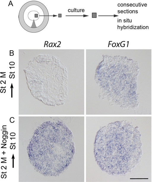 Eye-field cells are not specified at the blastula stage. (A) The explant method and location of stage 2 medial (M) explants. (B,C) Stage 2 M explants cultured to approximately stage 10 and analyzed by in situ hybridization. (B) Stage 2 M explants generated FoxG1+ (8/15) cells, but no Rax2+ (0/15) eye-field cells. (C) In stage 2 M explants cultured together with Noggin, Rax2+ (14/17) eye-field and FoxG1+ (16/17) cells were generated. Scale bar: 100 µm.