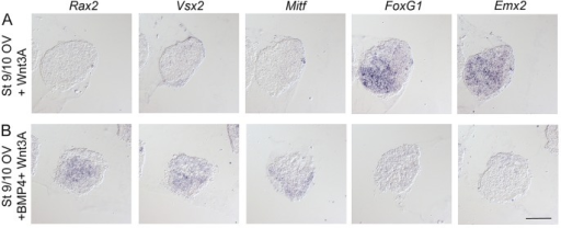 Combined Wnt and BMP signals induce cells of RPE identity. Stage 9/10 OV explants cultured to approximately stage 21 and analyzed by in situ hybridization. (A) Stage 9/10 OV explants cultured in the presence of Wnt3A still generated FoxG1+ (12/12) and Emx2+ (12/12) dorsal telencephalic cells, but no Rax2+ (0/12), Vsx2+ (0/12) neural retina cells or Mitf+ (0/12) RPE cells. (B) Stage 9/10 OV explants cultured together with Wnt3A and BMP4 (3.5 ng/ml) suppressed the generation of FoxG1+ (0/12) and Emx2+ (0/12) telencephalic cells, and induced Mitf+ (0/12) RPE cells, as well as Rax2+ (12/12) and Vsx2+ (12/12) neural retina cells. Scale bar: 100 µm.