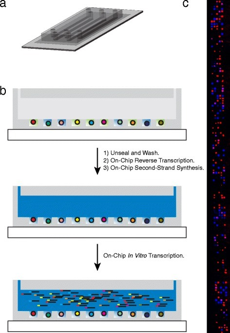 Flow cell device for single-cell RNA-Seq. a Graphical representation of our five-lane microwell array flow cell device for single-cell RNA-Seq. b Schematic of on-chip steps for single-cell RNA-Seq. After depositing cells, barcoded capture beads (barcode sequences represented as different colors), and sealing as in Fig. 2a, single-cell lysates (green) are trapped in individual microwells and mRNA hybridizes to the barcoded capture beads. The device is unsealed and rapidly washed by flow before on-chip, solid-phase reverse transcription and second-strand synthesis followed by elution and pre-amplification of the pooled library by in vitro transcription. c Montage of fluorescence images from part of one lane of the device in (a) showing beads (red) and cells (blue) loaded in the array. Note that this image was acquired following cell lysis while the device is sealed, and so the blue live stain fills the entire volume of the corresponding microwell and is confined to the microwell by sealing