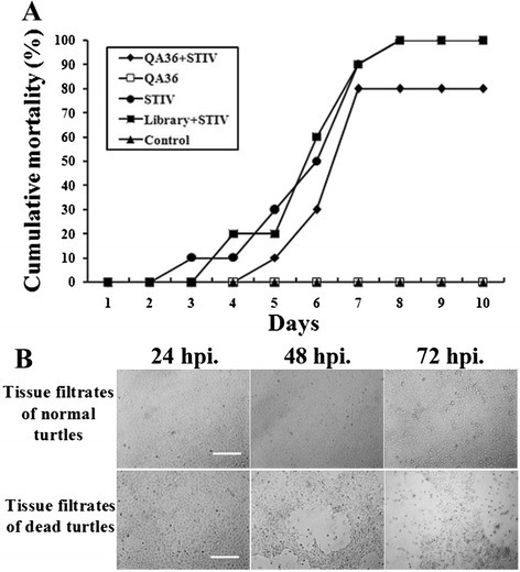 QA-36 inhibited STIV infection in cultured turtles. a Cumulative mortality of turtles was recorded daily up to 10 days p.i.. QA-36 slowed the rate of STIV infection and reduced the cumulative mortality by 20 %. b Filtrates collected from ground liver and spleen tissues of dead turtles exerted a CPE in FHM cells. (Bars = 100 μm)