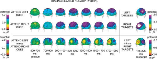 Pretarget Visual Cortex BiasingGrand-average (n = 13) ERP topographic plots (back view) time locked to attend-left cues (upper left row), attend-right cues (middle left row), and the difference-wave plots for the attend-left cues minus the attend-right cues (lower left row), averaged over 200-ms bins, starting 500 ms post-cue until the onset of late targets at 1,900 ms. The far right column shows N1 latency back-view topographic plots for left targets (upper right), right targets (middle right), and the left-minus-right target difference wave (lower right). All target-related activity is corrected for overlap from previous cue activity. Note the build up and then maintenance of the biasing-related negativity BRN over the occipital cortex contralateral to the direction of attention, and also note the similarity of the scalp-potential distributions of this biasing-related activity to the N1 differences between left and right targets.