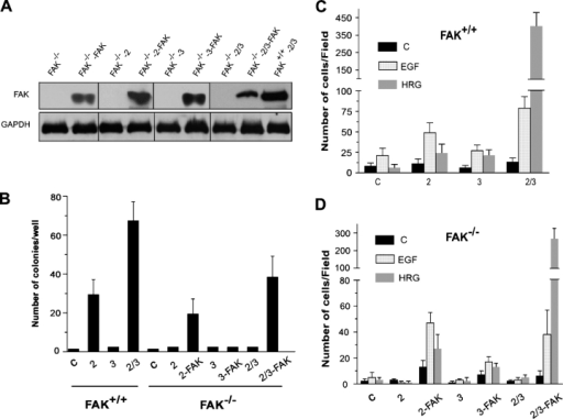 FAK is essential for ErbB-induced oncogenic transformation and chemotaxis. (A) Western blot analysis to show FAK expression status in FAK−/− cells expressing various ErbB receptor combinations and their matched cells in which wild-type FAK was reconstituted by stable transfection, as indicated in Materials and methods. FAK+/+–ErbB-2/3 cells are included as a control. (B) Oncogenic property of FAK−/−- and FAK+/+-expressing ErbB-2/3 receptors. Cells were cultured in medium containing soft agarose, and colony formation was determined 4 wk later by counting the number of cell foci of >20 μm in diameter (Fig. S2 A, available at http://www.jcb.org/cgi/content/full/jcb.200504124/DC1). Each bar on the graph represents the mean number of colonies per well from three independent experiments ± SD. (C and D) ErbB-induced cell invasion in FAK+/+ (C), FAK−/−, and FAK−/− cells in which FAK was restored (D). FAK+/+, FAK−/−, and FAK−/−-reconstituted cells expressing ErbB receptors were cultured in the upper chamber, whereas EGF or HRG was used as a chemoattractant in the lower chamber. Each bar of the graphs represents the mean ± SD (error bars) of invading cells from three independent experiments. C, control.