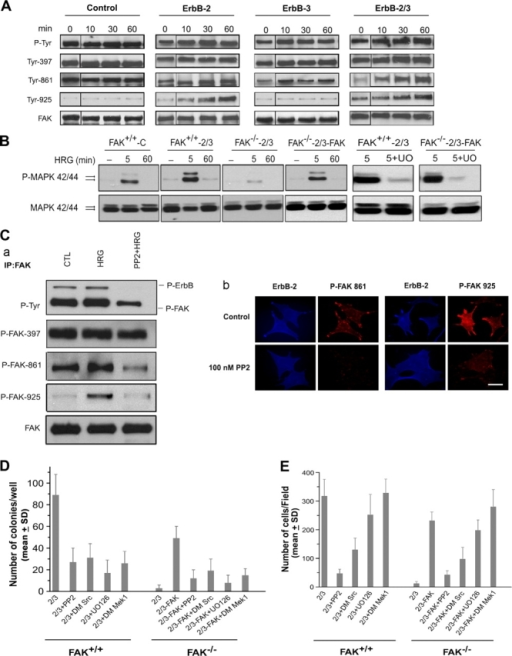 ErbB-induced oncogenic transformation and invasion are mediated via distinct FAK signaling. (A) Differential regulation of FAK phosphorylation by ErbB-2 and -3 receptors. Serum-starved cells were stimulated with 20 ng/ml EGF (control cells) or HRG (ErbB-2, -3, and -2/3–overexpressing cells) for the indicated times. Proteins were immunoprecipitated with anti-FAK and probed with antiphosphotyrosine antibody, antiphospho-FAK antibodies specific to different residues, and anti-FAK antibody. (B) Differential regulation of MAPK phosphorylation by ErbB-2 and -3. Cell lysates from HRG-stimulated adherent cells were blotted with P-MAPK and reprobed with MAPK antibody as indicated in Materials and methods. The figure shows an increase in P-MAPK after 5 min of stimulation with HRG in FAK+/+-2/3 cells and FAK-reconstituted FAK−/−-2/3 cells compared with control cells. Exposure to UO126 strongly inhibited P-MAPK in FAK-proficient cells. (C) Inhibition of Src reduced HRG-induced FAK phosphorylation at Tyr-861 and -925. FAK+/+-2/3 cells were serum starved for 24 h and pretreated with PP2 at 100 nM for 60 min followed by treatment with 20 ng/ml HRG for 30 min. (a) Whole cell lysates were immunoprecipitated with anti-FAK and probed with antiphosphotyrosine antibody. Membranes were subsequently reprobed with antiphospho-FAK antibodies specific to different residues and total FAK. (b) FAK+/+-2/3 cells were coimmunostained for ErbB-2 and the indicated phospho-FAK in the absence or presence of PP2. Bar, 40 μm. (D) Inhibition of colony formation on agar by Src and MAPK inhibition. Cells were cultured in medium containing soft agarose either in the absence and presence of PP2 or UO126 or were transfected with dominant mutants for MEK1 or Src. Colony formation was determined 4 wk later by counting the number of cell foci. (E) Inhibition of cell invasion by Src but not MAPK inhibition. Cells were cultured in the upper chamber of the Boyden chamber in the absence and presence of PP2 or UO126 or after being transfected with dominant mutants for MEK1 or Src. HRG was used as a chemoattractant in the lower chamber. Each bar of the graphs represents the mean ± SD (error bars) of invading cells from three independent experiments.
