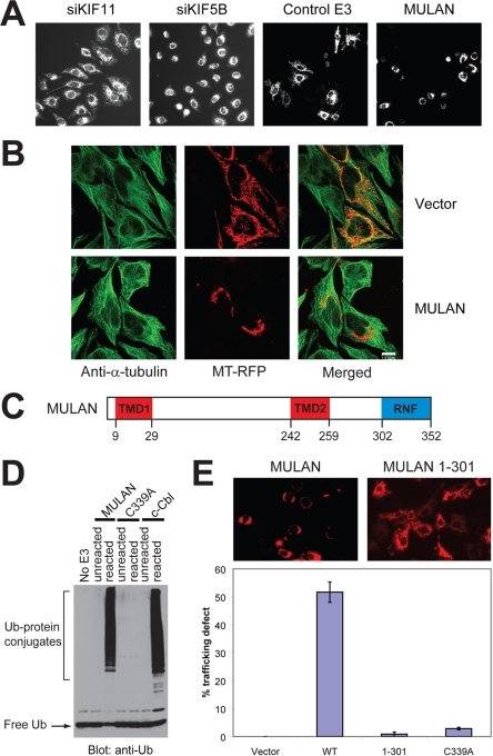 "Identification of MULAN as a novel regulator of mitochondrial dynamics.A) Left 2 panels: Mitochondrial perinuclear clustering (a consequence of defective trafficking) results from siRNA-mediated knockdown of KIF5B, but not of KIF11. HeLa cells were transfected with the indicated siRNAs and mitochondria were visualized with MitoTracker Red. Right 2 panels: A cell-based imaging screen of E3 cDNA and shDNA genome-wide collections led to the identification of MULAN, a RING finger protein whose ectopic expression resulted in mitochondrial perinuclear clustering and fragmentation. For the screen, HeLa cells were co-transfected with mitochondrial-targeted RFP (MT-RFP) and with the E3 collections. ""Control E3"" refers to a random E3 cDNA which did not affect mitochondrial dynamics in the screen. B) Mitochondrial perinuclear clustering in response to MULAN ectopic expression apparently does not result from disruption of the microtubule network. HeLa cells were co-transfected with MT-RFP and either vector control or MULAN wild type cDNA. Cells were immuno-stained with anti-α-tubulin antibody to visualize the microtubule network. Green, tubulin staining; red, mitochondria. C) MULAN's schematic domain structure. Amino acid numbers indicated below. TMD, transmembrane domain. RNF, RING finger. D) MULAN's RNF has in vitro E3 activity. Reactions utilized GST fusions with the MULAN or c-Cbl RNFs as E3s. Activity was dependent on an intact RNF, since it was not detected in reactions using the MULAN C339A RNF mutant. c-Cbl's RNF was used as a positive control. Negative controls were reactions lacking an E3 (No E3) or reactions added to SDS sample buffer at t = 0 (unreacted). E) MULAN's RNF is required for the regulation of mitochondrial dynamics. NIH3T3 cells were transfected with vector, wild type MULAN cDNA or RNF-mutant cDNAs, together with MT-RFP. Cells were fixed at 24 h post-transfection and the fraction of RFP-positive cells exhibiting perinuclear-clustered mitochondria was scored (% trafficking defect). Data represent the average of at least 350 cells per condition, from 3–5 random 20× fields. Results are representative of several experiments."