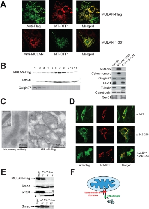 MULAN is a mitochondrial outer membrane (MOM) protein with a cytosolic-facing C-terminal RING-finger.A) MULAN colocalizes with MT-RFP/MT-GFP. NIH3T3 cells were transfected with Flag-tagged MULAN or untagged MULAN 1-301, together with MT-RFP (top panels) or MT-GFP (bottom panels), followed by immunostaining with antibody against Flag (top; green) or MULAN (bottom; red). B) Left panel: MULAN-Flag co-sediments with the mitochondrial protein, Tom20, in sucrose gradient. 293 cells transfected with MULAN-Flag were subfractionated by sucrose gradient. MULAN-Flag, the MOM protein Tom20, and Golgin 97 in each fraction were detected by western blot. Right panel: endogenous MULAN co-fractionates with mitochondria in sucrose gradient. 293F cells were Dounce-homogenized and centrifuged at 750×g to pellet nuclei and unbroken cells. The post-nuclear supernatant was centrifuged at 12,500×g to obtain the heavy membrane (HM) and the cytosolic/light membrane (LM) fractions. The HM fraction was subjected to sucrose gradient to further purify mitochondria. Equal protein amounts (40 µg) were fractionated by SDS-PAGE and blotted with anti-MULAN antibody to detect endogenous MULAN. Cytochrome c, Golgin 97, EEA1 and tubulin were used as markers for mitochondria, Golgi, endosomes and cytosol, respectively. Calreticulin and Sec61 were both used as ER markers. C) Immuno-electron microscopy of MULAN. COS7 cells transfected or not with MULAN-Flag were fixed and stained with anti-Flag antibody followed by gold-conjugated secondary antibody for immuno-EM analysis. Left panel: BSA only (no primary antibody) control; inset: mitochondrion from an untransfected cell. Right panel: mitochondria expressing MULAN-Flag. Scale bars are indicated. D) MULAN's predicted transmembrane domains (TMDs) mediate localization to mitochondria. NIH3T3 cells were co-transfected with Flag-tagged MULAN deletion mutants (green) and MT-RFP (red). Deletion of TMD1 (MULAN Δ2-29; top row) or of TMD2 (MULAN Δ242-259; middle row) led to partial mislocalization of MULAN. The combined deletion of both TMDs led to complete mislocalization of MULAN to the cytosol (MULAN Δ2-29+Δ242-259; bottom row). E) MULAN is a mitochondrial outer membrane (MOM) protein. Mitochondria from 293 cells transfected with MULAN-Flag were purified by sucrose gradient. Intact mitochondria were treated with trypsin for the indicated time, in the presence or absence of Triton X-100. The MULAN C-terminus was readily susceptible to trypsin digestion in intact mitochondria, indicating that it sits in the MOM facing the cytosol. Controls are the MOM protein, Tom20, and the intermembrane space protein, Smac. Smac only becomes sensitive to trypsin upon lysis of mitochondria with 0.5% Triton X-100 (lower panel). F) Topological model for MULAN on the MOM, indicating its transmembrane domains (red) and RNF (green). The cytosolic-exposed RNF can have access to the remaining components of the Ub system.