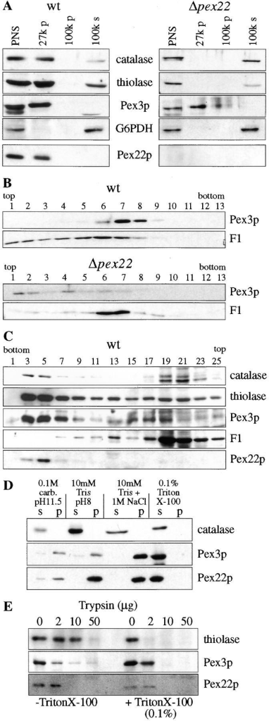 Subcellular localization, floatation gradient, Nycodenz gradient, membrane extraction and protease protection assays for Pex22p. (A) Postnuclear supernatant (PNS) was produced from wild-type (SMD1163) and Δpex22 (STK12) cells grown in oleate and subfractionated into a 27,000-g pellet (27 k p), a 100,000-g pellet (100 k p) and a 100,000-g supernatant (100 k s). Equivalent volumes were loaded on gels, transferred to nitrocellulose and blotted for the specified proteins. (B) The 27-k pellet of wild-type and Δpex22 strains grown in oleate were overlaid with sucrose and centrifuged. Fractions were taken from the top and checked for the localization of Pex3p and the β-subunit of the mitochondrial F1-ATPase (F1). (C) PNS from wild-type cells (SMD1163) grown on oleate was loaded on top of Nycodenz gradients. Equal volumes of fractions from the gradient were analyzed by immunoblotting. (D) The 27-k pellet of oleate-grown wild-type cells was subfractionated into an insoluble pellet fraction (p) and a soluble fraction (s) after treatment with 0.1 M carbonate (pH 11.5), 10 mM Tris (pH 8), 10 mM Tris (pH 8), 1 M NaCl, and 0.1% Triton X-100. The distributions of the specified proteins between supernatant and membranous pellet fractions were examined by immunoblotting. (E) A 27-k pellet of oleate-grown, wild-type cells was treated with the specified amount of trypsin in the presence (+) or absence (−) of 0.1% Triton X-100. The disappearance of the specified proteins was examined by immunoblotting.