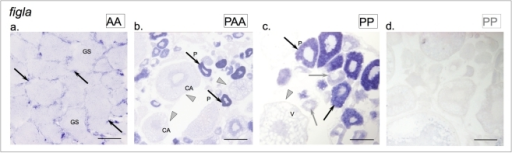 Expression patterns of figla in the adult gonads S. pyrenaicus and S. alburnoides.(a) S. alburnoides (AA genotype) testis; (b) S. alburnoides (PAA genotype) ovary and S. pyrenaicus (PP genotype) ovary with (c) antisense and (d) sense probes (positive signals in primary oocytes exemplified with black arrows; lower expression in early stage oocytes exemplified with grey arrows; cells in different maturation stages, not expressing the transcript are indicated by grey arrowheads). Germ cells (GS), early perinuclear (P), cortical alveolar (CA) and vitellogenic (V) oocytes. Scale bar = 100 µm (a, c, d); scale bar = 200 µm (b).