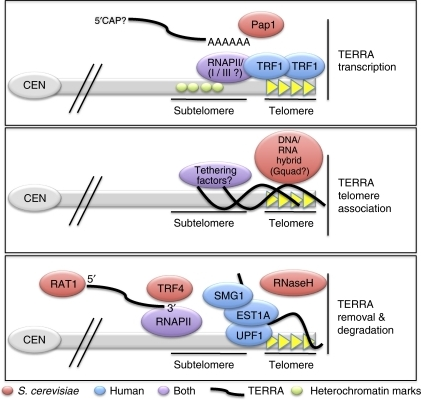 TERRA Biogenesis, telomere association and displacement from telomeres. TERRA Biogenesis (upper panel)—TERRA is an RNAPII-dependent transcript whose transcription initiates within the subtelomeric sequences and proceeds into the telomeric tract. Human TRF1 may promote transcription through the telomere tract through its association with RNAPII. A fraction of TERRA is polyadenylated through the canonical poly(A) polymerase, Pap1. The 5′-end structure that exists on TERRA molecules has not yet been reported. Telomere association (middle panel)—TERRA colocalizes with telomeres as visualized by RNA-FISH experiments on human interphase and metaphase chromosomes. Indirect evidence suggests that at least a portion of TERRA is bound to telomeres through base pairing with telomeric DNA. Undefined RNA–protein interactions or intermolecular G-quadruplex structures (Gquad) may also tether TERRA to telomeric DNA. Telomere removal and degradation (lower panel)—the 5′ to 3′ exonuclease, Rat1, directly degrades TERRA molecules and can itself be found associated with telomeres. Rat1 can degrade its other target RNAs in a co-transcriptional manner (as depicted here), whether TERRA is degraded by Rat1 in a similar manner has yet to be determined. The poly(A) polymerase, Trf4, also contributes to TERRA degradation, although likely as a minor contributor compared with Rat1. The NMD factors, UPF1, SMG1 and EST1A/SMG6, all contribute to TERRA removal from telomeres. Inhibition of any of these factors results in both more and brighter TERRA foci, although overall TERRA levels as assessed by northern blot analysis remain largely unchanged. RNaseH overexpression also reduces cellular TERRA levels when Rat1 function is impaired.