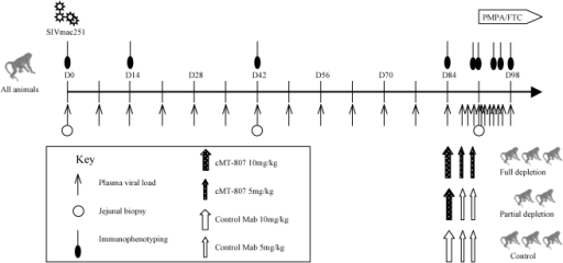 Timeline of experiments.Plasma SIV RNA levels, immunophenotyping, GI biopsy and antibody treatment according to treatment group is shown. D = day post infection. Treatment phase with PMPA/FTC is indicated by the horizontal block-arrow in the right upper hand corner.