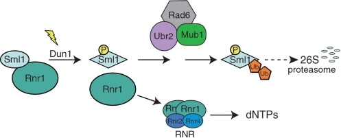 A model for Sml1 regulation in response to DNA damage. Prior to modification, Sml1 is bound to Rnr1 and inhibits RNR activity. Following DNA damage, Dun1 is activated and phosphorylates Sml1 on serines 56, 58, 60 and/or 61. Phosphorylation promotes ubiquitylation of Sml1 by the Rad6–Ubr2–Mub1 complex, targeting Sml1 for degradation by the 26S proteasome. The released Rnr1 associates with Rnr2 and Rnr4 to form an active RNR enzyme allowing the production of dNTPs.