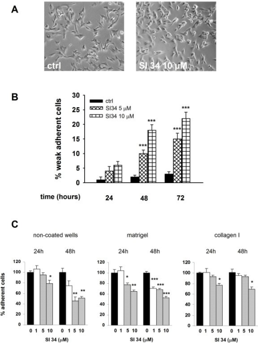 SI 34 decreases SH-SY5Y cell adhesion. (A) Changes of cellular morphology in SH-SY5Y cultures exposed to 10 μM SI 34 for 72 hours. (B) Detached cells from cultures exposed (white bars) or not (black bars) to SI 34 were collected and counted as described in materials and methods. The results are expressed as percentage of detached cells (subtracted the percentage of dead cells from the full amount of detached cells) with respect to the total number of cells present in the well. Each value is the mean ± S.E.M. of 6 different sets of experiments made in triplicate. ***P < 0.001 vs respective controls. (C) Adhesion assay performed by plating SH-SY5Y cells on two different physiological substrates (Matrigel and collagen I) and on non-coated plastic surface for 30 min. Cells were treated with increasing concentrations of SI 34 (0, 1, 5, 10 μM) for 24 or 48 hours prior the adhesion assay. The values are expressed as mean percentage with respect to control (black bar) of at least three different measurements (± S.E.M). *, ** and ***P < 0.05, P < 0.01 and P < 0.001 vs respective control.