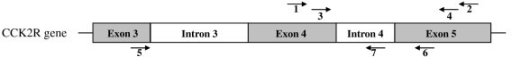 Schematic drawing (not to scale) of the CCK2R gene 3'-region corresponding DNA sequences of exon 3 to exon 5. Arrows indicate the position of the CCK2R primers No. 1-7 described in Table 1.