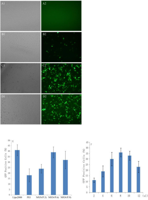GFP expression in HepG2 cells transfected with different transfection reagents. (A-D) Fluorescent and bright-field images of green fluorescent protein expression in HepG2 cells for PLGA-based polyplexes (N/P ratio 6) with control 25 kDa PEI (N/P ratio 5) and lipo2000. (A) naked DNA, (B) PEI, (C) PLGA/PEI, (D) lipo2000. The images were obtained at magnification of 100×. (E) Transfection efficiency of the nanocomplex determined by flow cytometry analysis at different N/P ratio (n = 3). The transfection reagents/DNA complexes were prepared at their optimal condition. (F) Transfection efficiency of the nanocomplex determined by flow cytometry analysis at 2 μg pDNA mixed with different volume of nanocomplex (4 μg/μl). The nanoparticles/DNA complexes were prepared at optimal N/P ratio (n = 3).