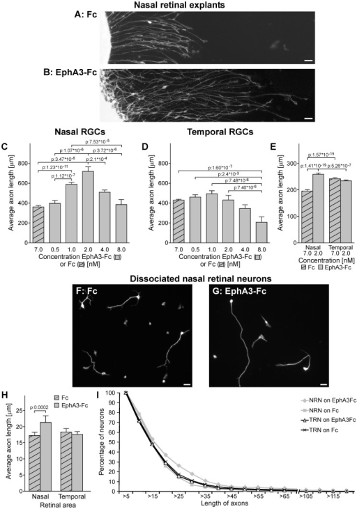 EphA3 ectodomain stimulates nasal RGC axon growth in vitro.(A, B) Microphotographs of nasal retinal explants grown on clustered Fc (A) or clustered EphA3-Fc at 2 nM (B). RGC axons grow longer on EphA3-Fc. Scale bars  = 20 µm. (C–D) Quantification of axon length of nasal (C) and temporal explants (D) grown on substrates formed by laminin and clustered Fc or EphA3-Fc at different concentrations. Axon length is indicated in µm and concentrations are indicated in nM of Fc or EphA3-Fc. Temporal explants grow longer axons than nasal ones in control conditions (p: 0.0002, compare first bar of nasal RGCs in C with first bar of temporal RGCs in D). EphA3-Fc increased nasal RGCs axon growth from 1 to 4 nM showing a peak at 2 nM. Temporal RGCs did not present any significant change in axon growth on EphA3-Fc between 0.5 and 4 nM and presented a significant decrease at 8 nM (ANOVA and Tukey postest, 3 independent experiments, n: 20 longer axons for explant, 3 explants for condition). (E) Quantification of axon length of nasal and temporal explants exposed to soluble clustered Fc or EphA3-Fc at 2 nM. Nasal RGC axons grow significantly longer with EphA3-Fc (ANOVA and Tukey postest, 3 independent experiments, n: 50 longer axons for explant, 3 explants for condition). (F–G) Dissociated nasal retinal neurons immunolabeled against neuron specific βIII tubulin. They present longer axons on clustered EphA3-Fc at 2 nM (G) than on clustered Fc (F). Scale bars  = 10 µm. (H) Quantification of axon length of nasal and temporal dissociated retinal neurons grown on clustered Fc or EphA3-Fc at 2 nM. Nasal retinal neurons grow significantly longer axons on EphA3-Fc. (ANOVA and Tukey postest, 3 independent experiments, n: nasal retinal neurons on EphA3-Fc: 288, nasal retinal neurons on Fc: 328, temporal retinal neurons on EphA3-Fc: 636, temporal retinal neurons on Fc: 646). (I) The plot depicts the distribution of axon length of nasal and temporal dissociated retinal neurons (NRN and TRN) grown on EphA3-Fc versus Fc. Values given on the y-axis indicate the proportion of retinal neurons which axons reach the length shown on the x-axis. Nasal retinal neurons present a higher proportion of axons between 20 and 40 µm (n: nasal retinal neurons on EphA3-Fc: 288, nasal retinal neurons on Fc: 328, temporal retinal neurons on EphA3-Fc: 636, temporal retinal neurons on Fc: 646). Results are shown as mean +/– SE.