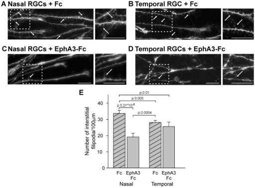 EphA3 ectodomain decreases the density of interstitial filopodia in nasal RGC axons.A–D. Representative microphotographs of axons grown from nasal (A, C) and temporal (B, D) retinal explants exposed to soluble clustered Fc (A, B) or EphA3-Fc (C, D). Axons are labeled with Alexa 488-phalloidin. Arrows depict representative interstitial filopodia. Insets show filopodia at higher magnification. Scale bars  = 20 µm. (E) Quantification of filopodia number/100 µm of axon shafts. Nasal axons present higher density of interstitial filopodia and EphA3-Fc significantly decreases the density of interstitial filopodia in nasal RGC (ANOVA and Tukey postest, 3 experiments, n: 8 axons for explant, 4 explants for condition). Results are shown as mean +/− SE.