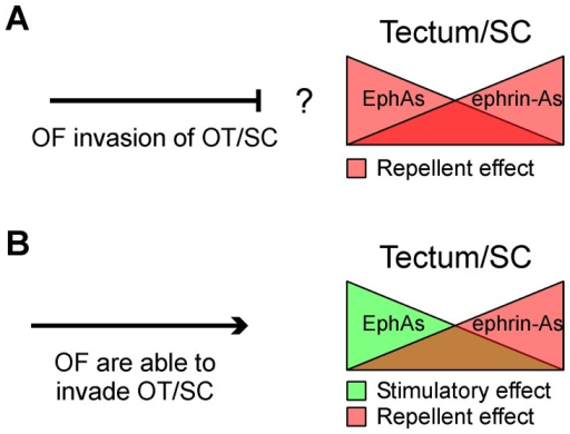 General models to account for topographic mapping along the rostro-caudal axis of the retinotectal/collicular system.In both models (A and B) opposing gradients of ephrin-As and EphAs establish the local addresses in the tectum/colliculus whereas opposing gradients of ephrin-As and EphAs establish the relative sensitivity of axons according to the RGC bodies location. Tectal/collicular ephrin-As inhibit temporal RGCs axon growth and termination zone formation. (A) In this model collicular EphA7 or EphA8 repel nasal RGC axon growth and inhibit termination zone formation. Repellent effect of EphAs on axon growth would prevent RGC axons from invading the colliculus. (B) In our model tectal EphA3 stimulates nasal RGCs axon growth and inhibits termination zone formation. This allows us to explain how RGC axons invade the tectum. Optic fibers (OF), Optic tectum (OT), superior colliculus (SC).