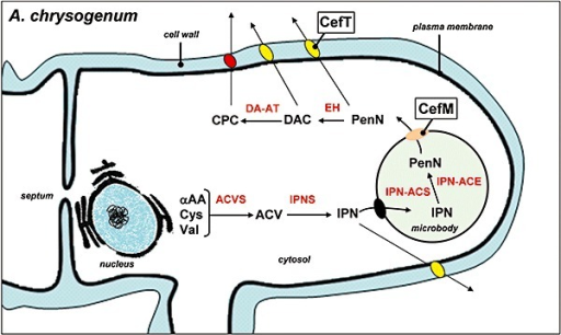 Proposed model describing the compartmentalization of the cephalosporin C biosynthetic pathway in A. chrysogenum showing the localization of the CefT and CefM transporters. ACVS, δ‐l‐α‐aminoadipyl‐l‐cysteinyl‐d‐valine synthetase; ACV, l‐δ(α‐aminoadipyl)‐l‐cysteinyl‐d‐valine; IPNS isopenicillin N synthase; IPN, isopenicillin N; IPN‐ACS isopenicillin N‐CoA synthetase; IPN‐ACE; isopenicillin N‐CoA epimerase; PenN, penicillin N; EH, deacetoxycephalosporin synthase (expandase/hydroxylase); DAC, deacetylcephalosporin C; DAC‐AT, deacetylcephalosporin acetyltransferase; CPC, cephalosporin C.