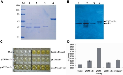 Protein purification and identification. (A) Protein purification. The purified protein was determined by SDS-PAGE. M: Molecular weight of marker proteins; Lane 1–4: the purified proteins for pACYC-Duet-scFv, pACYC-Duet-scFv-skp, pET28a-scFv, and pET32a-scFv, respectively. (B) Western blotting results. Lane 1–4: the detected bands for pACYC-Duet-scFv, pACYC-Duet-scFv-skp, pET28a-scFv, and pET32a-scFv, respectively. (C) ELISA. TLH antigen were coated on 96-well plates in triplicate (5 μ g/mL, 100 μ L/well), and the purified scFv proteins were added to the reaction wells after blocking and washing. The binding activities of the four purified proteins were determined using an anti-6×His tag antibody. (D) Quantitative result of ELISA*, P < 0.05, compared with control antibody treatment.