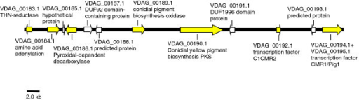 A 48.8 kb melanin biosynthetic cluster of genes in Verticillium dahliae. Genes up-regulated in the MS + culture are highlighted in yellow.