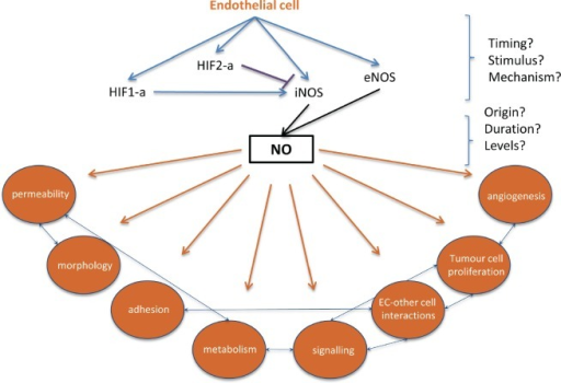 Filling the gaps in endothelial HIF-alpha, NO signalling and subsequent changes that can contribute to metastatic eventsAt the site of extravasation, endothelial HIF-1a or HIF-2a activation results in differential activation of iNOS, with direct influences on NO production. Hypoxia- and HIF-independent signals can also stimulate NO production, and the origin, concentration, and duration of NO may affect metastatic success. Downstream effects of endothelial HIF/NO signaling, such as endothelial permeability and endothelial cell-tumor cell adhesion, could be targeted to reduce or prevent extravasation.