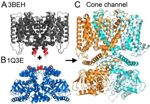 Modeling of the full-length cone channel in its resting state, on the basis of two separate templates.(A) Side view of the TM region of the bacterial channel MlotiK1 in a closed state, PDB entry 3BEH [10]. This structure was the template for modeling the TM region of the cone channel. (B) Side view of the mouse HCN2 CNBDs in a resting state, PDB entry 1Q3E [15]. This structure served as a template for the cytosolic domain of the cone channel. (A, B) The regions of conflict between the templates are in red. (C) Side view of the resultant model structure of the human cone channel, shown in cartoon representation. CNGA3 subunits are colored cyan (light and dark); CNGB3 subunits are colored orange (light and dark).