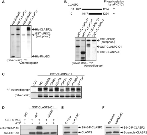 aPKC phosphorylates CLASP2 both in vitro and in vivo. (A–C) Purified full-length CLASP2γ or its mutants were incubated with recombinant aPKCζ in the presence of [32P]ATP, followed by silver staining and autoradiography. (A) aPKC phosphorylated His-CLASP2γ in vitro. (B) Schematic of CLASP2 C-terminal fragments (top). aPKC phosphorylated GST-CLASP2-C1 but not -C (bottom). (C) Ala substitutions at Ser-940 (S940A), Ser-952 (S952A), and Ser-967 (S967A) in CLASP2-C1 reduced the phosphorylation by aPKCζ. (D) GST, GST–CLASP2-C1 wild type (WT), and S940A were incubated with aPKCζ in the presence or absence of ATP, followed by immunoblotting with anti-GST and anti–S940-P antibody. Anti–S940-P antibody detected GST–CLASP2-C1 phosphorylated by aPKCζ but did not detect phosphorylation of the other constructs. (E) RPE-1 cells were incubated with or without 10 μM aPKC pseudosubstrate inhibitor (aPKC-PS) for 20 min, followed by treatment with 100 nM calyculin-A for 10 min. Incubation with aPKC-PS diminished the phosphorylation of Ser-940 in CLASP2. (F) RPE-1 cells transfected with the indicated siRNA were treated with 100 nM calyculin-A for 10 min. aPKC depletion reduced the phosphorylation of Ser-940 in CLASP2. All results are representative of three independent experiments.
