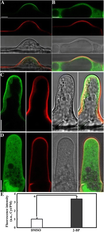 2-BP treatment re-distributed the PIP2sensor from the PM to the cytoplasm in root hairs. A. DMSO-treated root hairs expressing the PIP2 sensor (green) at the initiating stage. B. 2-BP-treated root hairs expressing the PIP2 sensor at the initiating stage. C. DMSO-treated root hairs expressing the PIP2 sensor at the elongating stage. D. 2-BP-treated root hairs expressing the PIP2 sensor at the elongating stage. E. Ratio of fluorescence signals. a.u. stands for arbitrary fluorescence units. Cyt/PM indicates the ratio of cytoplasmic to the plasma membrane signal. Results are means ± standard deviation (SD, n = 30). Asterisk indicates significant difference (Student's t-test, P < 0.01). Root hairs were stained with the fluorescence dye propidium iodide (red) to outline cell shape. Corresponding bright-field images are shown together with merges of different channels. Bars = 7.5 μm.
