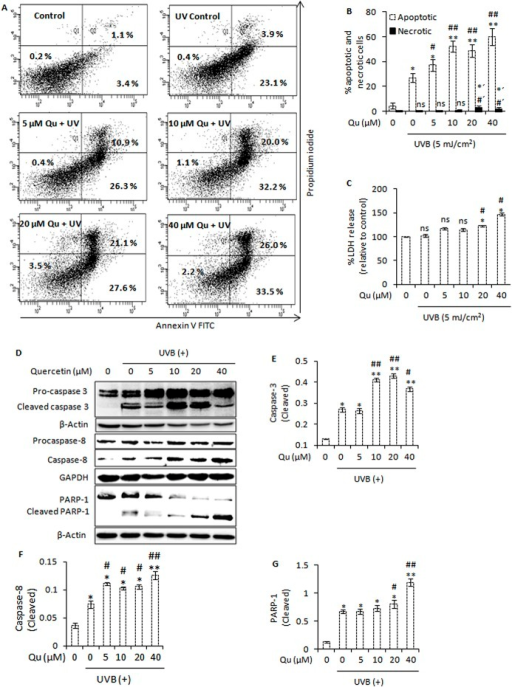 Combined UVB and quercetin treatment enhances apoptotic cell death and induces caspase activation and PARP-1 cleavage.A, Annexin V/propidium iodide assay followed by flow cytometric analysis of apoptosis and necrosis in B16F10 cells at 24 h post-UVB/Qu treatment. B, represents the percentage of apoptotic and necrotic cells. *, P<0.05; **, P<0.01 for control (apoptotic) versus treated; #, P<0.05; ##, P<0.01 for UVB-alone treatment (apoptotic) versus UVB + Qu treatments; *´, P< 0.05 for control (necrotic) versus treated; #', P<0.05 for UVB-alone (necrotic) versus UVB + Qu treatments. C, analysis of lactate dehydrogenase (LDH) leakage in cells treated with Qu and/or UVB. *, P<0.05 for control versus treated; #, P<0.05 for UVB-alone treatment versus UVB + Qu treatment; ns, statistically not significant. D, western blot analysis of caspase-3/caspase-8 activation and PARP-1 cleavage in B16F10 cells at 24 h post-UVB/Qu treatment. The signals for the cleaved forms of caspase-3 (E), caspase-8 (F) and PARP-1 protein (G) were quantified and normalized against β-actin, GAPDH and β-actin respectively using Image Lab software Version 3.0 (BioRad).