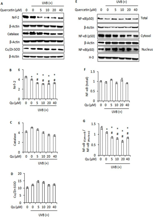 Effect of quercetin on major protein regulators of anti-oxidant defence response in UVB-irradiated B16F10 cells.A, immunoblot analysis of Nrf-2, Catalase and Cu/Zn SOD in B16F10 cells treated with Qu and/or UVB. Signals were quantified for Nrf-2 (B), catalase (C) and Cu/Zn SOD (D) and normalized against β-actin of each band using the Image Lab Software. E, immunoblot analysis of whole cell, cytosolic and nuclear NF-κB in B16F10 cells treated with Qu and/or UVB. F, represents the densitometric analysis of NF-κB (whole cell). G, the signals for cytosolic and nuclear NF-κB were quantified and expressed as ratio of NF-κB(cytosol) / NF-κB(nucleus) for each treatment.