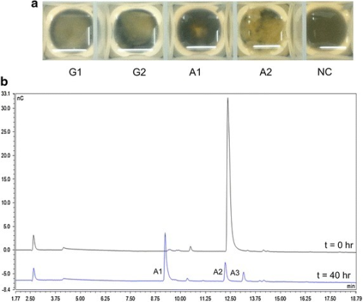 N. crassa growth on aldonic acids. a Biomass accumulation of N. crassa provided with different carbon sources after 48 h. All samples were started with an equal inoculum of 1 × 106 cells/mL. The plate was imaged on a black background to highlight fungal growth. b Relative abundance of aldonic acids in the supernatants of cells provided with cellobionic acid at the time of inoculation (top) and 40 h (bottom). G1 glucose, G2 cellobiose, A1 gluconic acid, A2 cellobionic acid, A3 cellotrionic acid, NC no carbon control.