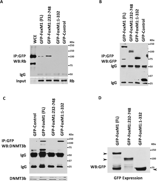 Rb and DNMT3b bind to different regions in FoxM1b.MCF7 cells were transiently transfected with GFP-Control, GFP-FoxM1 full length (FL), GFP-FoxM1 mutant (232–748) or a GFP fusion construct containing the N-terminal 331 residues of FoxM1. 48hr post transfection, lysates (800 ug) were immunoprecipitated with GFP antibody and fractionated by SDS PAGE. Western blot analysis was performed with a monoclonal antibody specific for Rb (A) or antibody against DNMT3b (C). Immunoprecipitations of the GFP-fusion proteins are shown in panel B, and expression of GFP constructs in experiment C are shown in panel D.