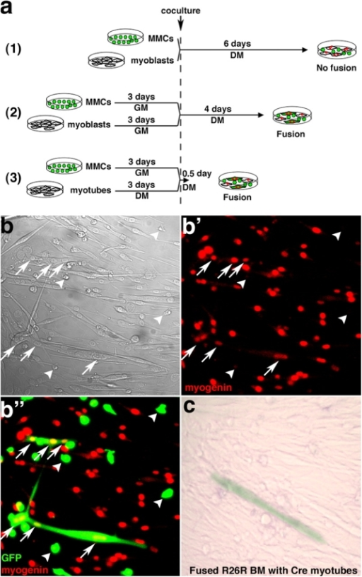 "MMCs can fuse spontaneously in vitro with differentiated myotubes. (a) Schematic of the co-culture experiments. (b and c) MMCs were isolated by FACS from fresh bone marrow from GFP transgenic mice, maintained in myoblast GM for 3 d, and co-cultured with wild-type primary myoblasts and differentiation induced (DM) for 4 d, according to scheme a (2). Phase-contrast (b) and laser-scanning confocal images of immunofluorescence for myogenin only (b') or for GFP and myogenin (b"") are shown. Arrows indicate an example of GFP+myogenin+ multinucleated myotube. Arrowheads indicate GFP+ MMCs that do not express myogenin. (c) MMCs were isolated by FACS from fresh bone marrow from R26R Cre-reporter transgenic mice and co-cultured with Cre-expressing myoblasts, according to scheme a (2). A β-gal+ multinucleated myotube provides evidence of fusion between MMCs and Cre myotubes."
