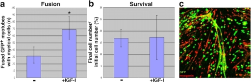 IGF-I promotes fusion of MMCs with myotubes. (a) MMCs were isolated by FACS from fresh bone marrow from GFP transgenic mice, maintained in myoblast GM for 3 d, and co-cultured with 3-d-old primary wild-type myotubes, in the presence or absence of 100 ng/ml IGF-I, according to Fig. 4 a (3). Asterisk indicates total numbers of GFP+myogenin+ multinucleated myotubes observed after 4 d, shown with a 95% confidence interval based on the Poisson distribution. (b) For analyses of cell survival, MMCs were isolated and immediately cultured in myotube-conditioned DM in the presence or absence of 100 ng/ml IGF-I. Cell counts were performed on days 0 and 3. Final cell numbers are expressed as percentages of the initial number of cells plated on day 0 (± SEM). P value was determined with a t test. P > 0.5. (c) Laser-scanning confocal image of an example of GFP+myogenin+ multinucleated myotube; immunofluorescence shows nuclear muscle myogenin (red) and MMCs GFP (green).