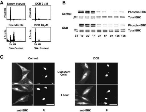 DCB does not interfere with ERK kinase activation and nuclear translocation upon serum stimulation of quiescent cells. (A) Serum-starved REF-52 cells were reactivated with 10% FCS in the presence of 2 or 10 μM DCB. Flow cytometry shows that cells remain arrested in G1 25 h after release. Nocodazole exposure of cells in the absence of DCB indicates that control cells were cycling in the same time course. (B) ERK1/2 is normally activated in the presence of 2 μM DCB. At time intervals after add-back of serum to serum-starved REF-52, cells were harvested and subjected to Western blotting using either antibodies to total ERK or to activated phospho-ERK. Experiments were run either in the presence of 2 μM DCB (DCB, bottom two strips) or absence of DCB (Control, top two strips). ST designates quiescent serum-starved controls. (C) ERK1/2 is normally translocated to the nucleus in the presence of 2 μM DCB. 1 h after serum add-back to serum-starved REF-52 cells, ERK1/2 kinases were immunolocalized using anti–pan ERK antibodies. Experiments were run either in the presence of 2 μM DCB (DCB, right) or in the absence of DCB (Control, left). Nuclei were counterstained with propidium iodide (PI). Bars, 50 μm.
