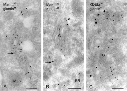 Man II colocalizes with giantin and KDELr in different populations of peri-Golgi vesicles. (A) Man II (10 nm gold) colocalizes with giantin (15 nm gold) in peri-Golgi vesicles (arrow). (B) Likewise, Man II (10 nm gold) is regularly found together with KDELr (15 nm gold) in peri-Golgi vesicles (arrows). (C) Despite the high labeling densities of both KDELr (10 nm gold) and giantin (15 nm gold), they are found mostly in different populations of peri-Golgi vesicles. Arrows point to KDELr-positive and giantin-negative vesicles. The arrowhead points to a Golgi cisternal rim that is strongly labeled KDELr and lacks giantin. G, Golgi complex. Bars, 200 nm.