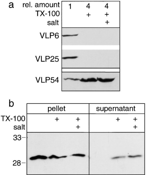 Association of VLP54 and endogenous nurim with extracted nuclear pellets. (a) BHK cells stably expressing either VLP54 or a cyan version of VLP6 (HO-2) and yellow version of VLP25 (Sec61β) were treated with PBS, PBS with 1% TX-100, or PBS with 1% TX-100 and high salt. Nuclei were pelleted, washed, and analyzed by SDS-PAGE followed by immunoblotting with an anti-GFP antibody. Four times the amount of extracted nuclei compared with unextracted nuclei (1 × 106) were analyzed. (b) HeLa cell nuclei were treated as in a, and analyzed by immunoblotting with affinity-purified antinurim antibody 254. In this experiment supernatants were also collected and the amount from equivalent numbers of cells (3 × 105) were loaded in all lanes.