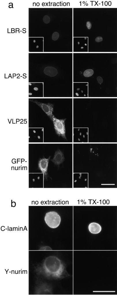 Localization and detergent sensitivity of GFP-fusions in chicken cells. (a) Chicken fibroblasts were transiently transfected with LBR-S and LAP2-S (GFP fusions to NE proteins), VLP25 (a GFP fusion to the ER protein Sec61β), or GFP-nurim. Cells were either fixed immediately (no extraction) or extracted with 1% TX-100 before fixation (1% TX-100). GFP fluorescence is shown in large images and Hoechst staining in insets. GFP images were taken at the same exposure and scaled identically. (b) Chicken cells were transiently transfected with both CFP-lamin A and YFP-nurim and treated as in a. The cyan and yellow images of the same cells are shown in the top and bottom frames, respectively. All images were taken at the same exposure and subsequently scaled identically. Bars, 20 μm.