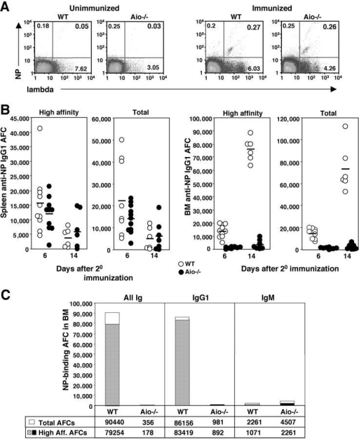 Antigenic reexposure supports transient expansion of high affinity AFCs in the spleen but not in the BM. FACS® analysis of spleen cells from WT and Aio−/− mice before and 6 d after secondary immunization (A). Cells were gated within the lineage-negative compartment and examined for NP binding and expression of Ig light chain. (B) Frequencies of NP-specific IgG1-producing AFCs in the spleen (left) and BM (right) of WT (○) and Aio−/− (•) mice were examined at 6 and 14 d after boost. Data were obtained from ELISPOT assays using NP4 (high affinity) and NP23 (total) as the coating Ags. Each point represents an individual mouse and data is from one experiment of at least three with similar results. (C) BM NP-specific AFCs of IgE, IgA and IgG isotypes, IgG1 isotype, and IgM isotype were quantified 14 d after 2° immunization. High and low affinity anti-NP AFC (NP23 binding) are represented by open bars. High affinity (NP4 binding) anti-NP AFCs comprise the hatched and solid portion of the bars.