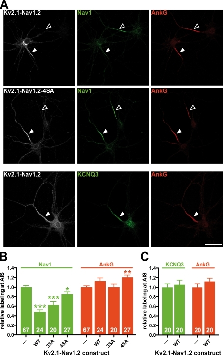 Impact of Kv2.1-Nav1.2 and of phosphorylation-deficient Kv2.1-Nav1.2 constructs on the accumulation of sodium channels (Nav1) and KCNQ2/KCNQ3 potassium channels at the AIS of cultured hippocampal neurons. (A, top and middle) Kv2.1-Nav1.2 expression perturbed Nav1 accumulation at the AIS, unlike the phosphorylation-deficient Kv2.1-Nav1.2 4SA mutant. Hippocampal neurons were transfected with either Kv2.1-Nav1.2 or phosphorylation-deficient Kv2.1-Nav1.2 mutants. Then cells were stained for myc (gray), ankyrin G (red), and sodium channels (green). (B) Quantification of Nav1 and ankyrin G staining intensity in untransfected cells (A, open arrowheads) and in transfected cells (closed arrowheads). (A, bottom) Kv2.1-Nav1.2 expression did not perturb KCNQ3 accumulation at the AIS. Cells transfected with Kv2.1-Nav1.2 were subsequently stained for myc (gray), ankyrin G (red), and KCNQ3 potassium channels (green). (C) Quantification of KCNQ3 and ankyrin G staining intensity. Fluorescence intensity measured in transfected cells, identified by myc staining, was normalized by taking as 100% the staining intensity measured in nontransfected cells (arrowheads). Numbers at the base of the bars denote the number of quantified cells. Error bars indicate mean ± SEM. Mann-Whitney test: *, P < 0.05; **, P < 0.01; ***, P < 0.001. WT, wild type. Bars, 10 μm.