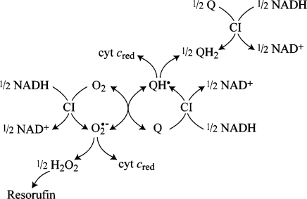 Production, Interconversion, and Detection of the Reactive Oxygen and Semiquinone Species Produced by the Reduced Flavin in Complex I