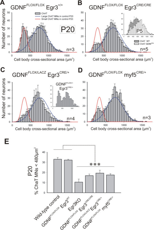 Genetic elimination of muscle spindle-derived GDNF results in selective loss of gamma motor neurons. (A) Size distributions of ChAT+ MNs in GDNFFLOX/FLOX/Egr3WT (no Cre) controls at P20 are comparable to wild types (lines). (B) ChAT+ MNs losses in the absence of spindle-derived GDNF (GDNFFLOX/FLOX/Egr3CRE/CRE mutants). Small ChAT+ MNs represent 32 ± 1% ( ± SEM) of all MNs in GDNFFLOX/FLOX /Egr3+/+ and 16.8 ± 1.1% in GDNFFLOX/FLOX/Egr3CRE/CRE animals. Inset shows a depletion at P5 comparable to Egr3KO animals (see Figure 5F). (C) Similar loses in compound heterozygotes with one conditional and one  GDNF allele and a single copy of Egr3CRE (GDNFFLOX/LACZ/Egr3CRE/+). Inset shows a normal size distribution in one animal carrying one wild type and one floxed GDNF allele and a single Egr3CRE copy. (D) GDNF elimination from all muscle precursors using myf5CRE/+ results in similar losses of small ChAT+ MNs. Large MN numbers are unaffected in conditional mutants by targeted removal of GDNF from spindles. (E) Comparison of the percentage of small MNs (<480 μm2) in different genotypes. No differences were detected between wild-type and homozygous GDNFFLOX (no Cre) controls. Egr3KO mutants and several conditional/floxed GDNF mutants crossed to Egr3CRE or myf5CRE showed significant depletions compared to wild-types and GDNFFLOX (no Cre) controls (asterisks indicate P < 0.001 one-way ANOVA followed by P < 0.01 post-hoc Tukey comparisons). Depletion of small MNs in Egr3KO animals were more pronounced than in other genotypes, but differences were not statistically significant. N's, number of animals analyzed in each genotype.