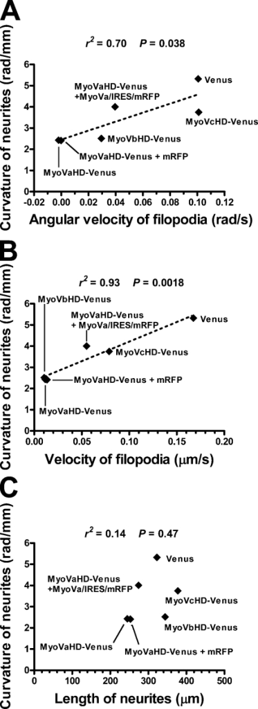 Correlation between filopodial dynamics and neurite turning. (A) A scatter plot of the curvature of neurites (data in Fig. 6 E) versus the angular velocity of filopodia (data in Fig. 5 A) expressing the indicated transgene products. The correlation was statistically significant (P < 0.05). (B) A scatter plot of the curvature of neurites (data in Fig. 6 E) versus the velocity of filopodia (data in Fig. 5 B). The correlation was statistically significant (P < 0.01). (A and B) The broken lines show the linear regression fit of the data. (C) A scatter plot of the curvature of neurites (data in Fig. 6 E) versus the length of neurites (data in Fig. 6 F). The correlation was not statistically significant (P = 0.47).