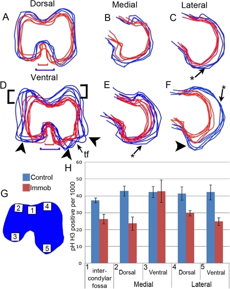 Comparison of cartilage shape and cell proliferation in distal femora of control (blue) and immobilised (red) embryos.Outlines of the cartilage anlaga (A–F) were extracted from virtual sections (Fig.2, C, D, F). A minimum of four outlines per treatment were overlaid. Arrow heads indicate region of reduced outgrowth in the immobilised animals. *indicates flattening of rudiment surfaces. Black brackets show extent of growth reductions in the dorsal aspect of the condyles. Coloured brackets compare width of the intercondylar fossa of control (red) and immobilised (blue) embryos (A, D). The distribution of proliferating chondroctyes in the femur across 5 regions, represented in G (boxes 1–5), was compared in control (blue) and immobilised (red) embryos (h). tf; trochlea fibularis, IF; intercondylar fossa.