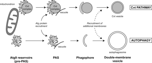Model for the role of the Atg9 reservoirs in double-membrane vesicle formation. The Atg9 reservoirs, which often are adjacent to mitochondria, act as a pre-PAS. Association with the prApe1 oligomer in nutrient-rich conditions (Cvt pathway) and probably cellular signals during starvation (autophagy) induces the translocation of one or more Atg9 reservoirs into close proximity with the vacuole. This relocalization event triggers the recruitment of the rest of the Atg proteins to a reservoir, leading to the formation of the PAS. Successive fusion of the tubulovesicular membranes composing the PAS and possibly acquisition of additional membrane from other Atg9 reservoirs and/or other sources creates a double-membrane vesicle.