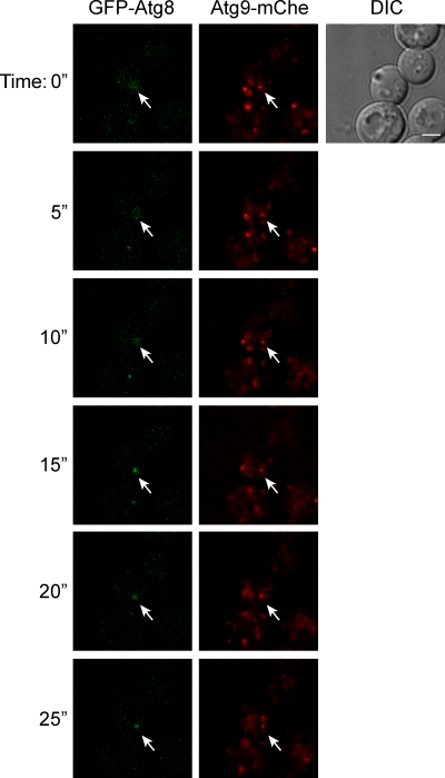 Live cell imaging of an Atg9 reservoir becoming the PAS. Atg9-mChe GFP-Atg8 (MMY120) cells were grown to log phase and transferred to SD-N medium for 20 min before being imaged as described in Materials and methods. Sequential images acquired with a time lapse of 5 s are shown. The arrow highlights the Atg9 reservoirs that ultimately colocalize with Atg8 in the process of becoming the PAS. The complete movie reconstruction is presented in Video 1. An identical result was obtained with cells expressing endogenous Atg9-GFP (FRY172) and carrying the pCumCheV5ATG8415 plasmid, which expresses mChe-Atg8 (Video 2). DIC, differential interference contrast. Bar, 2 µm.