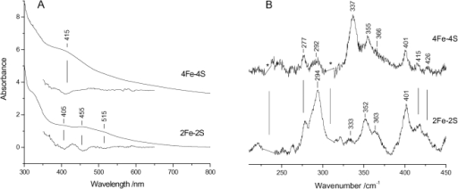 RR and electronic absorption spectra of Fe-S clusters assembled on E. coli IscU.(A) Electronic absorption spectra in both normal and second derivative presentations of [2Fe-2S]2+ and [4Fe-4S]2+ clusters, and (B) RR spectra of almost pure [2Fe-2S]2+ and [4Fe-4S]2+ clusters. RR experimental conditions: excitation wavelength 413.1 nm, spectral resolution 1 cm−1, laser power at the sample 55 mW; ([2Fe-2S]2+) average of eleven spectra with 15 min integration time; ([4Fe-4S]2+) average of nine spectra with 10 min integration time. The asterisks indicate laser plasma lines that have been removed.