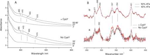 Kinetics of cluster formation.(A) Electronic absorption spectra obtained during the time course of Fe-S synthesis on E. coli IscU at the times indicated. (B) (a) Superposition of the RR spectra obtained during the time course of Fe-S synthesis in the time interval 30–60 min (no CyaY, black) and 30–90 min (+CyaY, red). (b) Superposition of the RR spectra for admixtures of the pure species shown in Figure 1: 50% [4Fe-4S]2+ /50% [2Fe-2S]2+ (red) and 40% [4Fe-4S]2+ /60% [2Fe-2S]2+ (black). RR experimental conditions: excitation wavelength 413.1 nm, spectral resolution 1 cm−1, laser power at the sample 50 mW; (no CyaY) average of 5 spectra with 10 min integration time; (+CyaY) average of 10 spectra with 10 min integration time. The spectra are normalised on the 294 cm−1 band of the [2Fe-2S]2+ cluster. The asterisk indicates a laser plasma line which has been removed.