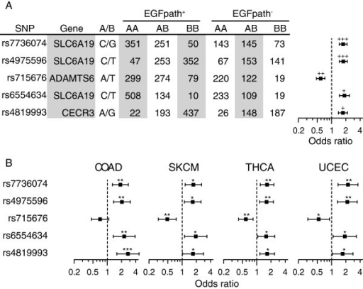 Patient genotype numbers and odds ratios for the top five SNPs associated with EGFR pathway status combined across four cancer types (COAD, SKCM, THCA and UCEC). (A) Odds ratios for combined analysis. (B) Odds ratios for individual cancer types. Error bars indicate 95% confidence intervals. +++P < 5 × 10-9; ++P < 5 × 10-7; +P < 5 × 10-6; ***P < 5 × 10-4; **P < 5 × 10-3; *P < 0.05.